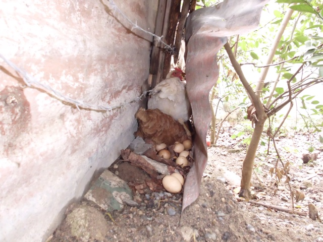 Here is the chicken who officially has laid 22 eggs for us!!